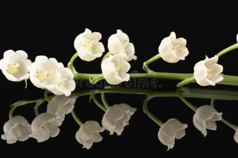 Single twig of spring flowers of Convallaria majalis isolated on black background stock photography