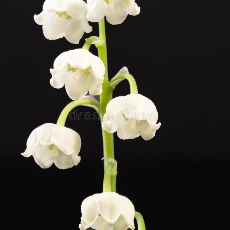 Single twig of spring flowers of Convallaria majalis isolated on black background stock images