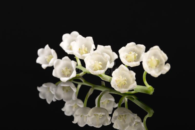 Single twig of spring flowers of Lily of the valley isolated on black background stock photo