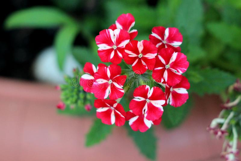 Single Verbena Sweet dreams Voodoo star plant with big cluster of vivid red and peachy white starred flowers growing in local. Urban garden on warm sunny spring royalty free stock photo