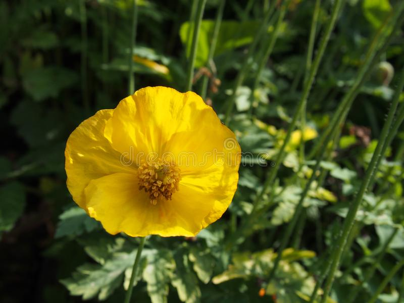 A single yellow welsh poppy in close up against a dark green background of leaves in bright summer sunlight stock photos