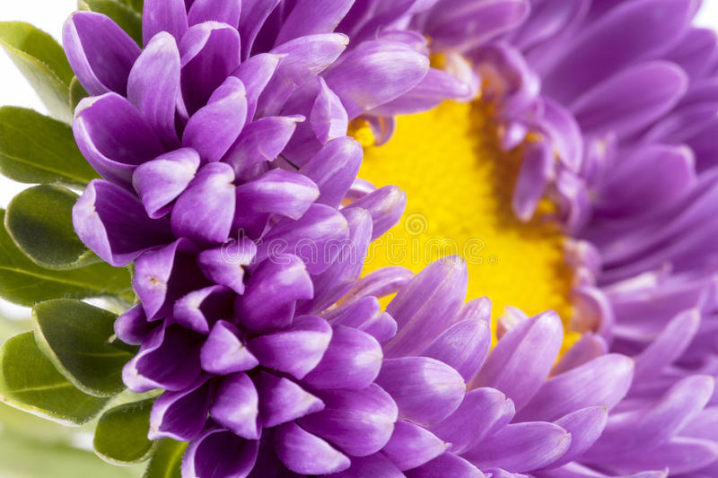 Violet aster stock photo. Image of stems, flowers, close