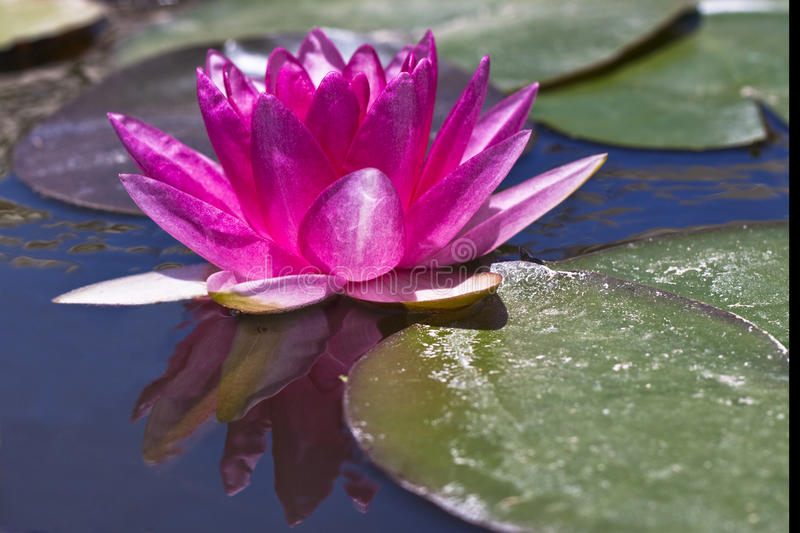 Single Water Lily Stock Image