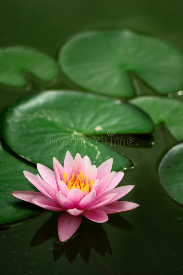 Single Waterlily. stock images