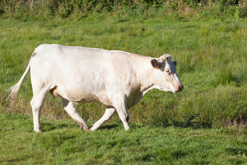 Single white Charolais beef cow walking through a lush green pas. Ture in evening light, side view - cattle breeds series stock photos