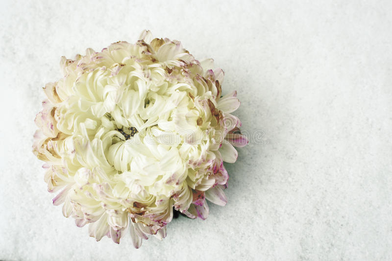 Single white Chrysanthemum flower without a stalk resting on a white snow bac. Kground, discarded as winter kills off summer blossoms stock image