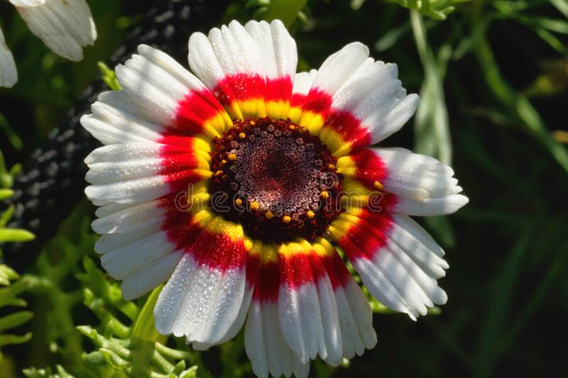 Single White Chrysanthemum met Red and Yellow Center royalty-vrije stock afbeelding