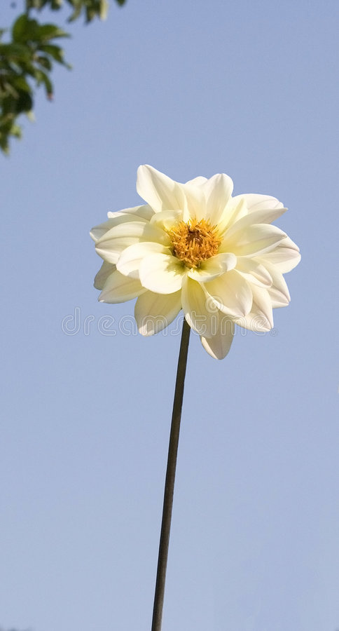 Single white Dahlia flower. A stoic white dahlia majestically stands in the garden surveying the other blooms. This flower is not only beautiful it can also stock image