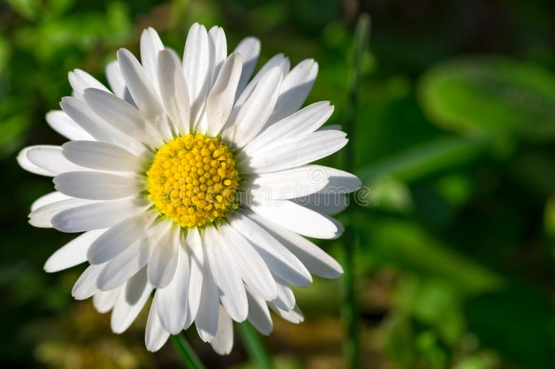 Single white daisy flower close-up on natural green background with copy space. Top view of a single white daisy flower close-up on natural green background with royalty free stock images
