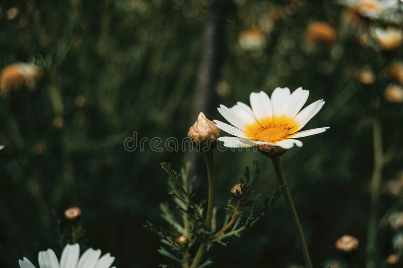 A single white daisy flower. In the meadow stock photo