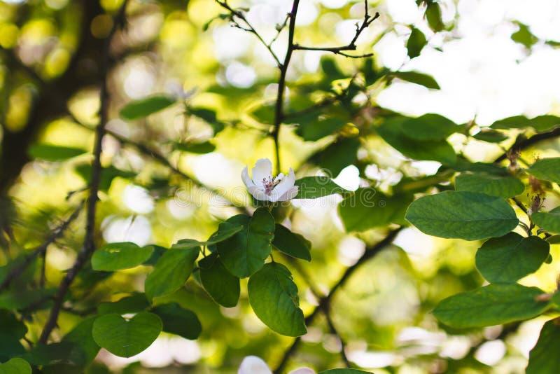 Single white flower in on tree leaves bokeh spring royalty free stock image