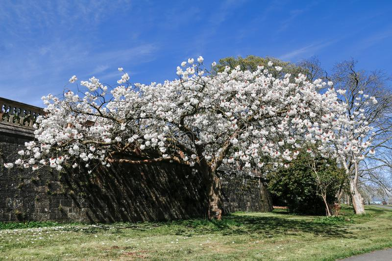 Flowering cherry tree on sunny day with blue sky. Single white flowering cherry tree on sunny day with blue sky royalty free stock image