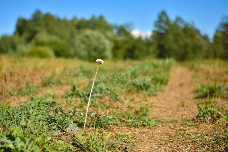 One white dandelion flower on a long leg grows in the field during the day royalty free stock images