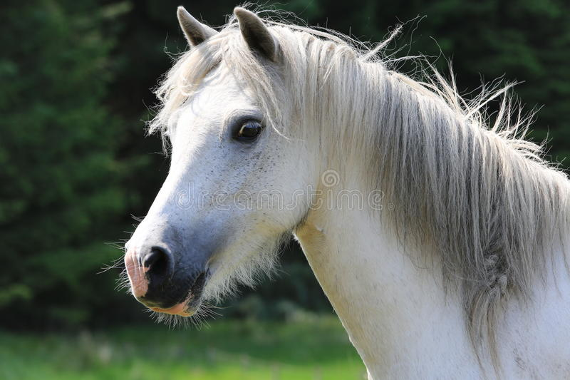 Single white horse on meadow royalty free stock images