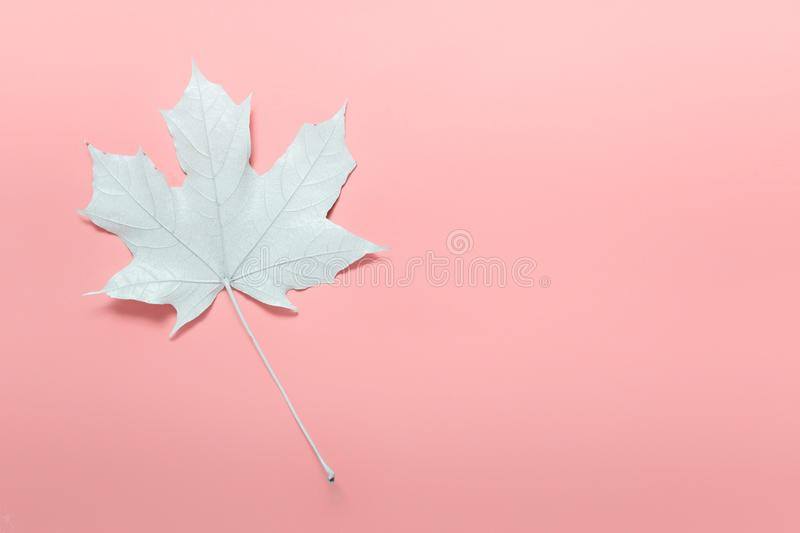 Single white maple leaf on pink with empt space stock photography