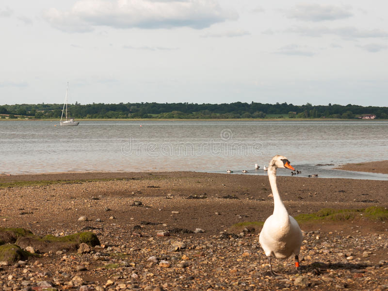 Single white mute swan on beach curious coming towards. England; UK royalty free stock images