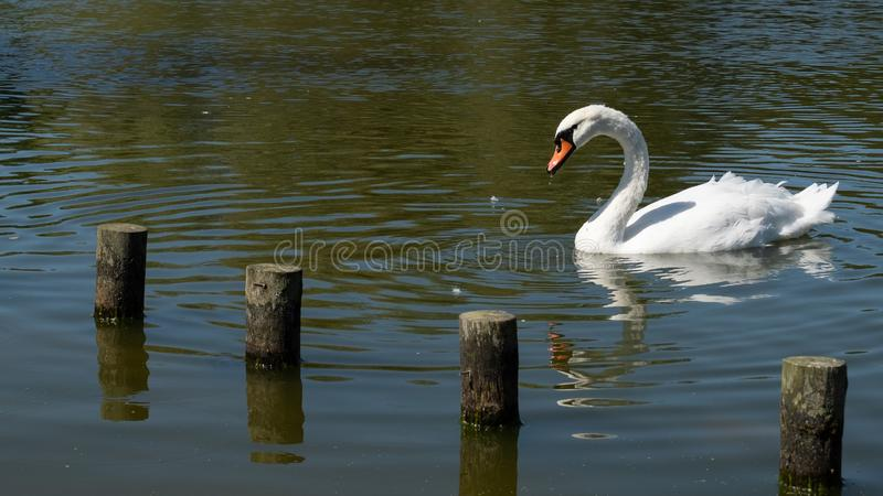 Single white mute swan, swimming on pond in summer with wooden posts. Jutting from water in foreground royalty free stock photo