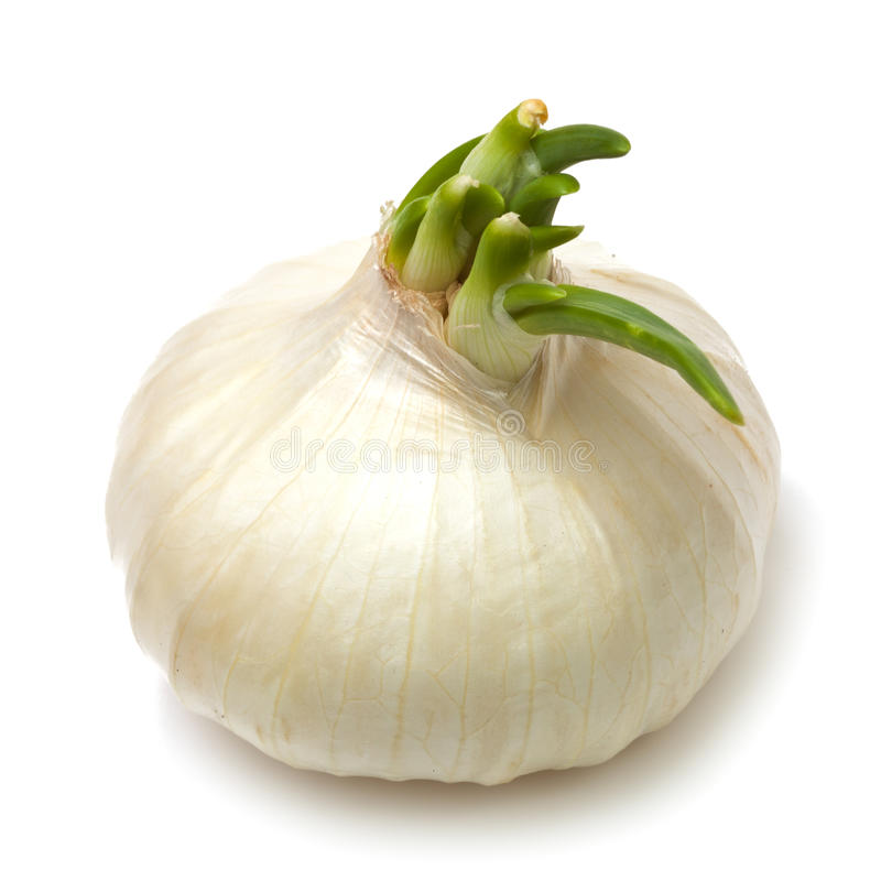 Free Single White Onion Stock Photos - 21548413