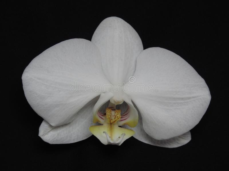 Single White Orchid Bloom Blossom on Black Background. Stylish Orchid Bouquet. Orchid Flowers. Phalaenopsis known as moth. Suitable for floral background or stock photography