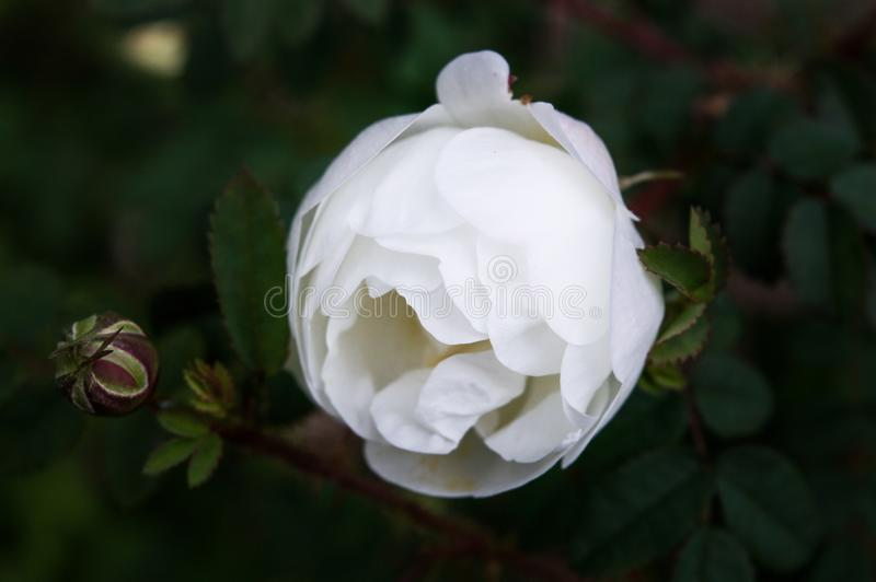 Single white rose, beautiful soft shallow depth of field with foliage bokeh background stock photo