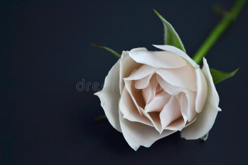A single white rose royalty free stock photography