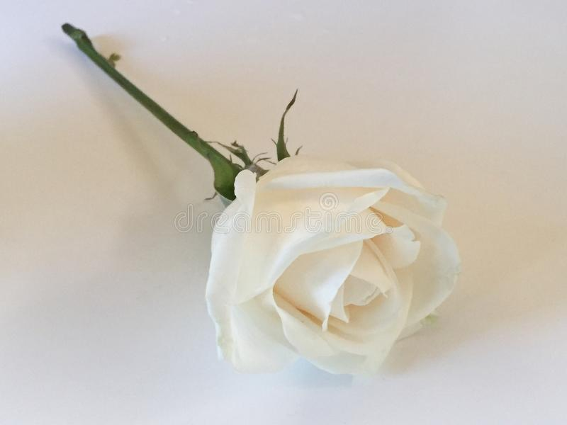 A single white rose. An up close photo of a single white rose stock image