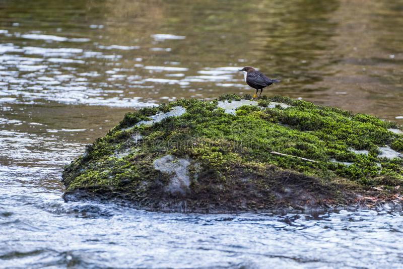 Single White Throated Dipper Cinclus cinclus. Stood on a mosscovered rock in the middle of a river royalty free stock images