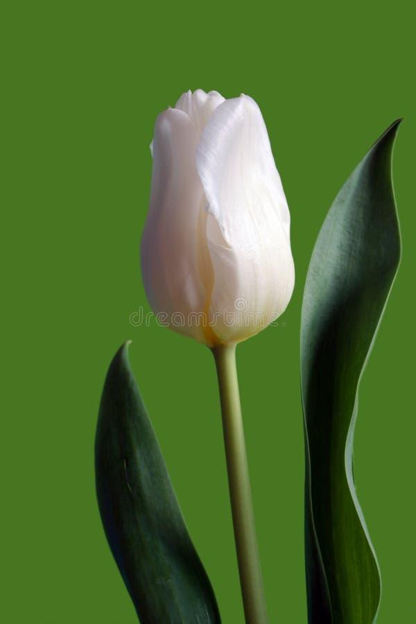 Single white tulip stock image