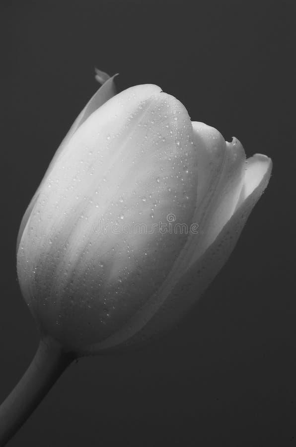 Single white tulip royalty free stock photo