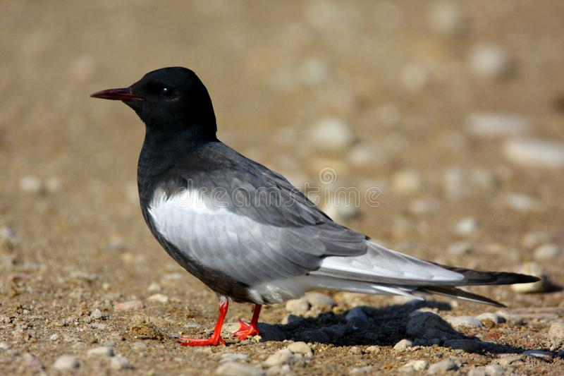 Single White-winged Black Tern bird on a ground during a spring. Nesting period stock photo