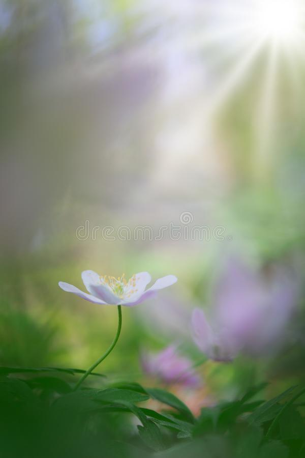 Single white wood anemone in pristine dreamy spring forest. Wild flower depicting hope, fragility and purity royalty free stock images