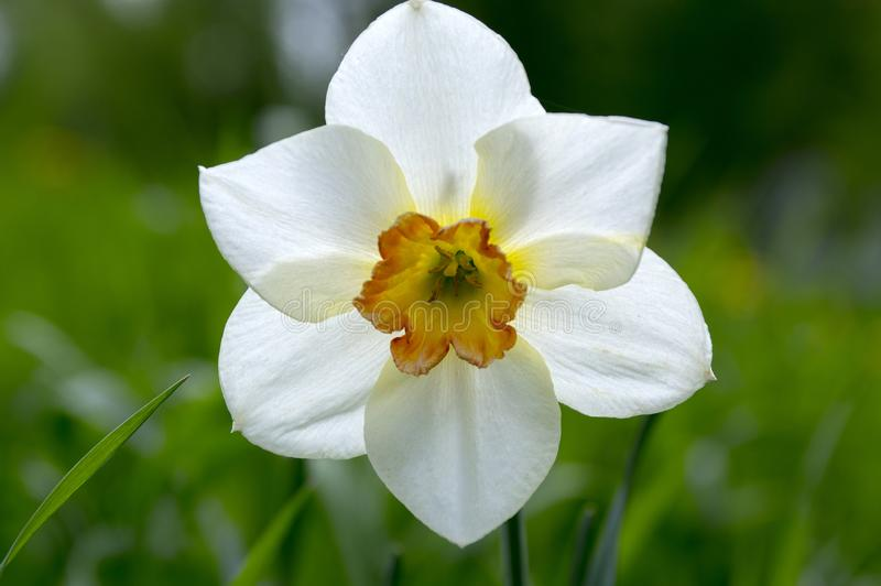 Single white and yellow narcissus poeticus royalty free stock photography