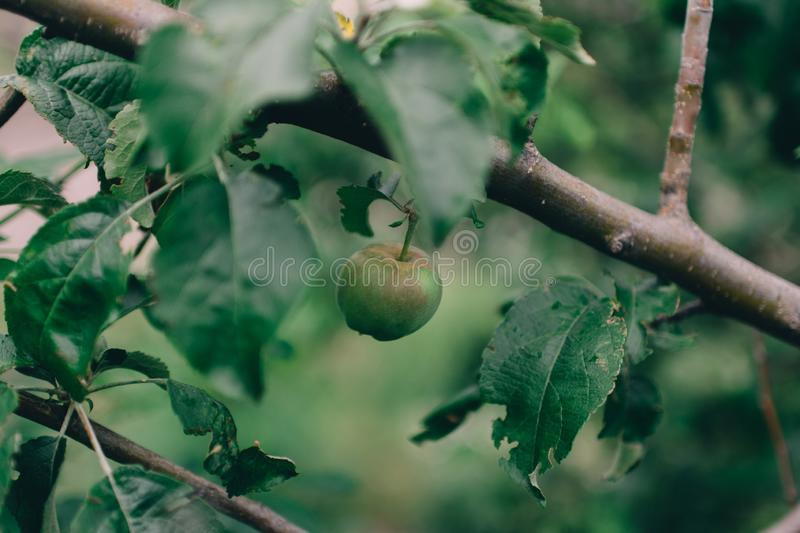 Single wild green last apple on tree branch with leaves stock photography