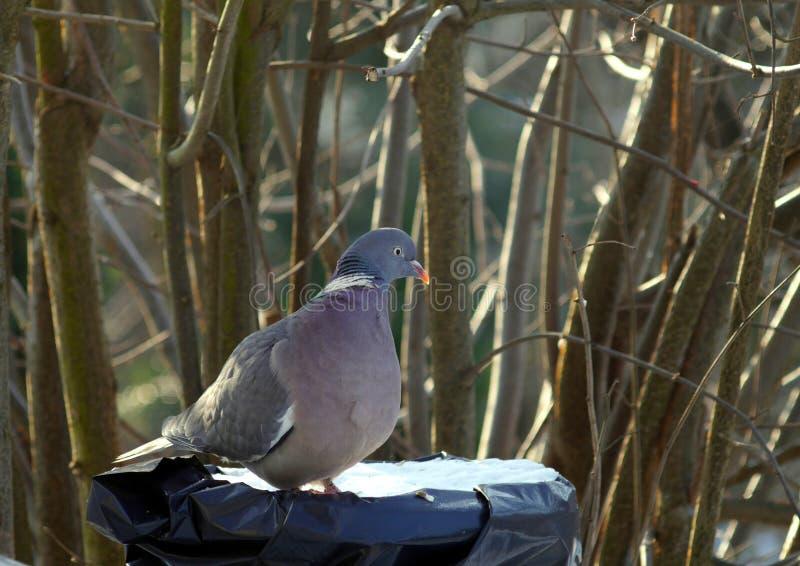 Single wild pigeon