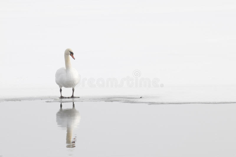 Download Single Winter Swan stock image. Image of frozen, wilderness - 29837503