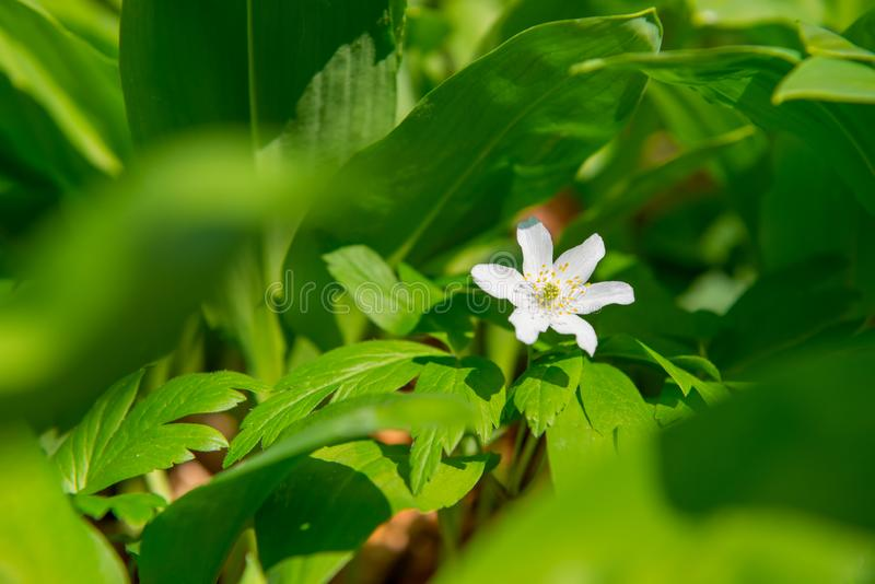 Single wood anemone white flower blooming on the spring forest floor covered with fresh plants. Anemone nemorosa flower in the stock photos