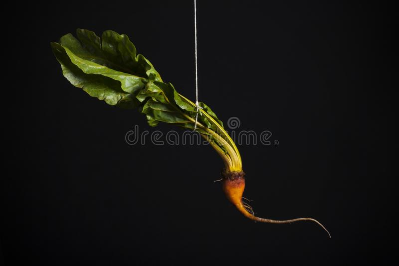 Hanging beet on black background royalty free stock photography