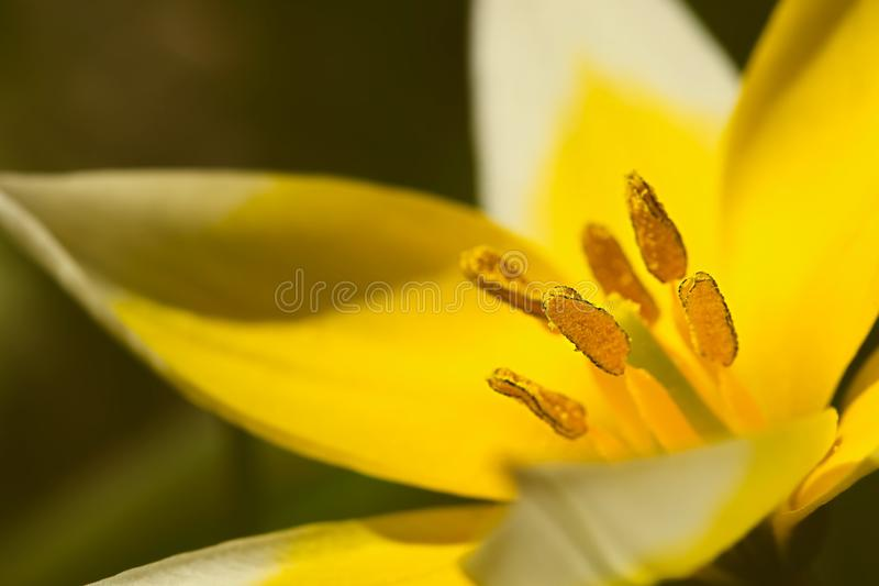 Single yellow blossom of Tulip tarda detailed closeup with pistils and stamen stock photo