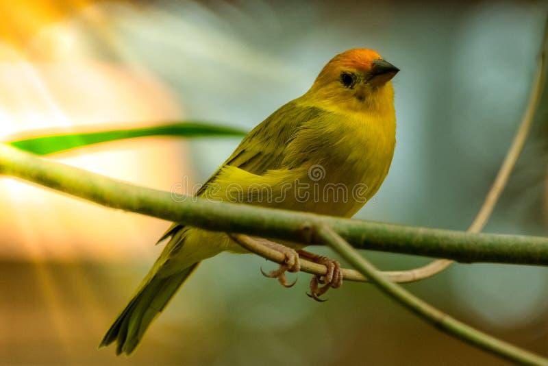 Yellow finch bird on branch. Single yellow chickadee bird on branch  sun rays royalty free stock images