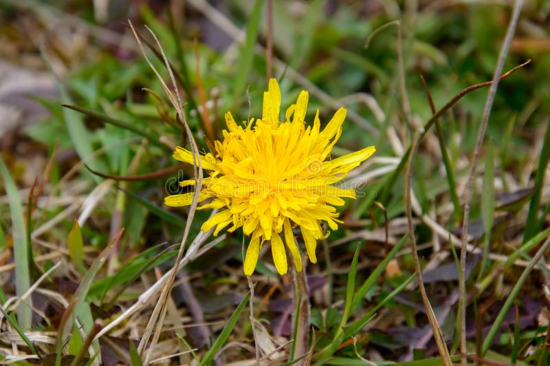 Single yellow colored dandelion Taraxacum flower on a green and brown grass plants background top close view. Single yellow colored dandelion Taraxacum flower on royalty free stock photo