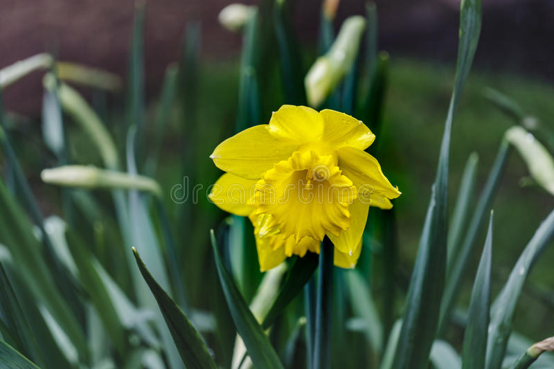 Single yellow daffodil narcissus flower blure background royalty free stock photography