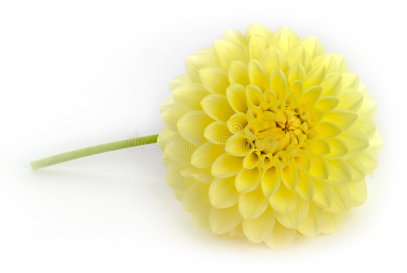 Single yellow dahlia flower royalty free stock image