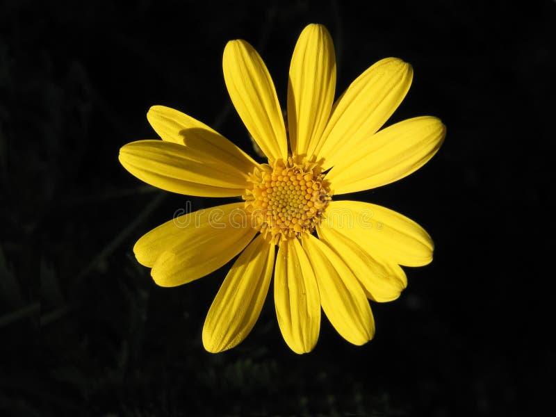 Yellow daisy flower isolated on dark background royalty free stock photo