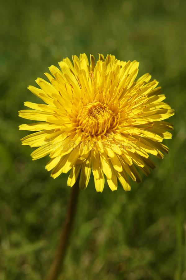 YELLOW DANDELION FLOWER IN GREEN GRASS stock images