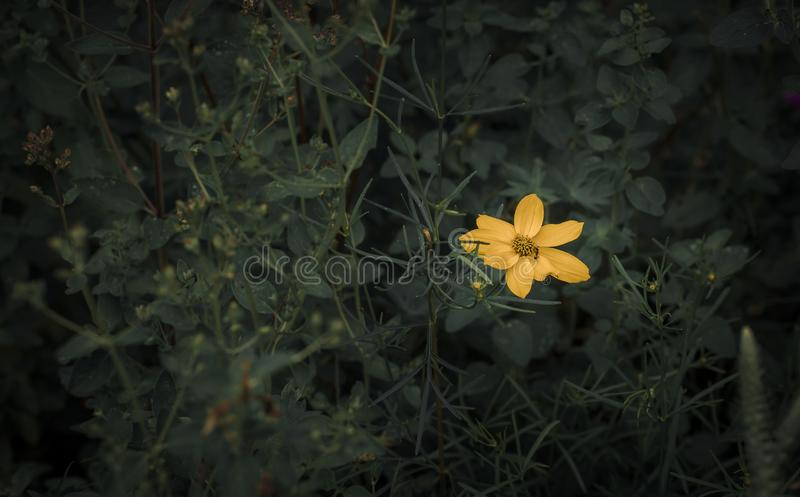 A single yellow flower royalty free stock photo