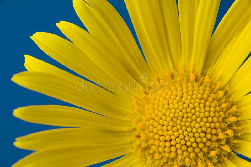 Single yellow flower on a blue background stock image