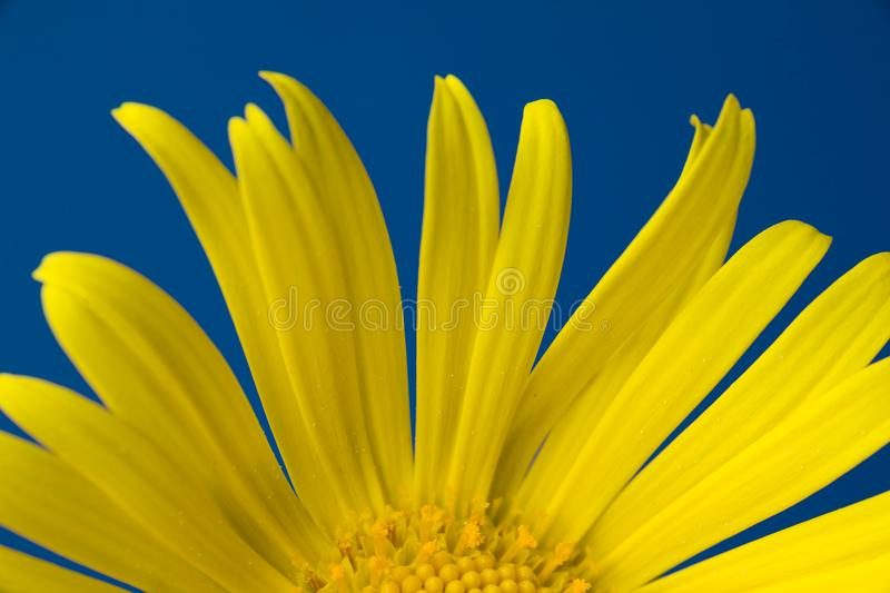Single yellow flower on a blue background royalty free stock photography