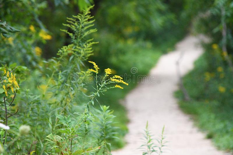 A Single Yellow Flower Leads you on a Path royalty free stock images
