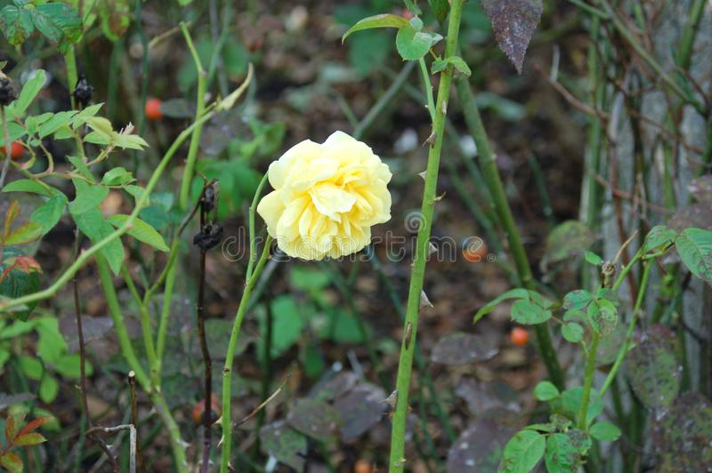 A single yellow flower surrounded by stems and thorns royalty free stock image