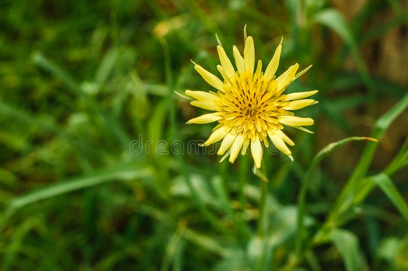 Single Yellow Flower in the tall grass. Low angle macro shot of a yellow flower in the tall green grass stock image